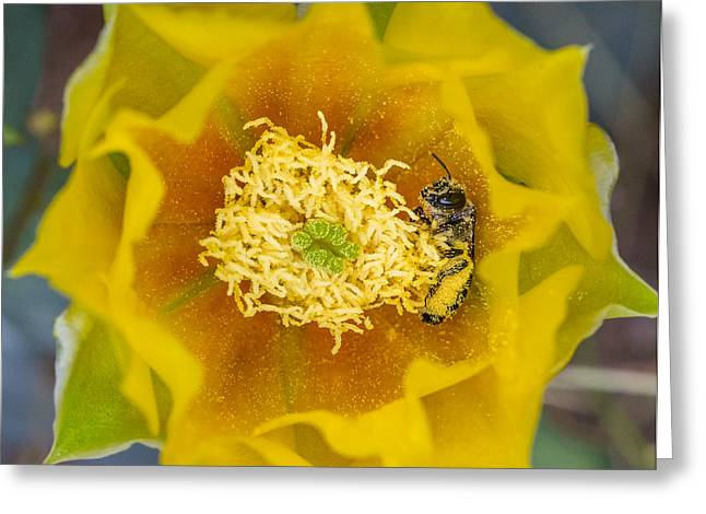 Tiny Dark Bee Covered In Prickly Pear Pollen Greeting Card