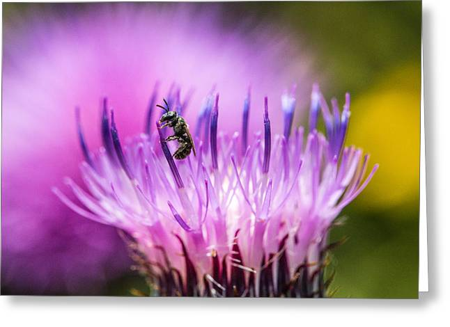 Tiny Dark Bee On Texas Thistle Greeting Card