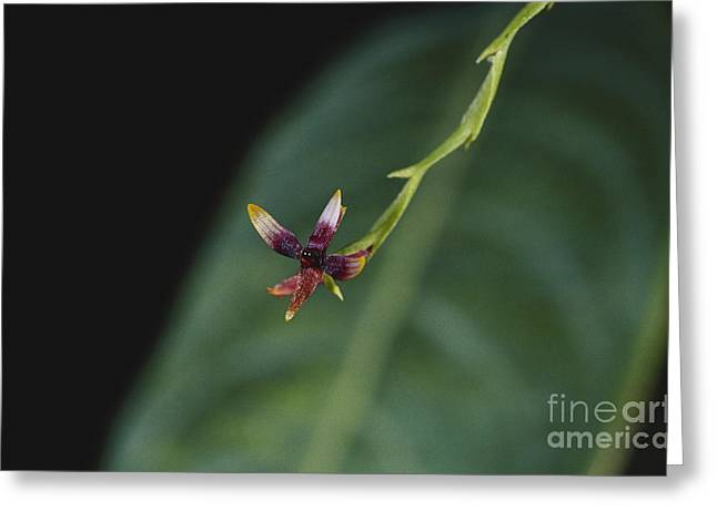 Tiny Orchid In Costa Rica Greeting Card