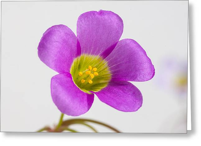 Tiny Oxalis In Morning Sunshine Greeting Card