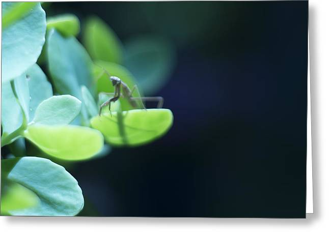 Tiny Praying Mantis On Sedum Greeting Card by Rebecca Sherman