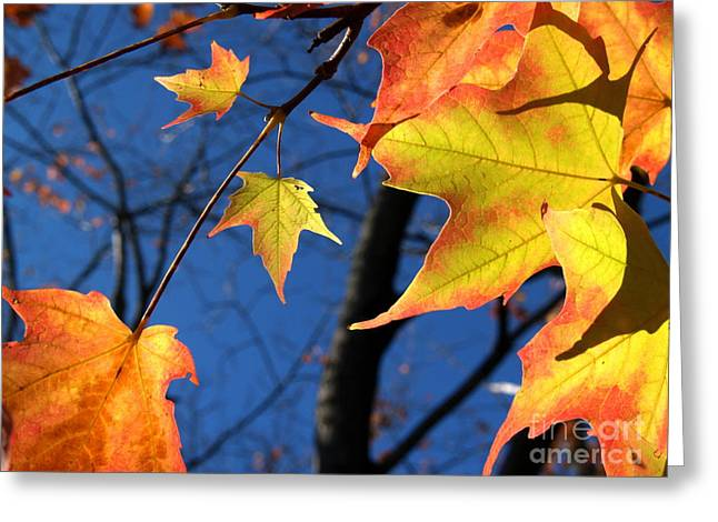 Tiny Sugar Maple Leaves Aglow Greeting Card