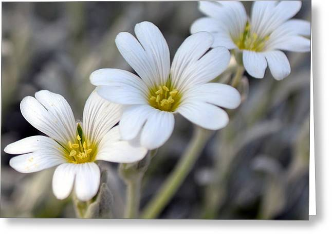 Tiny White Flowers #1 Greeting Card