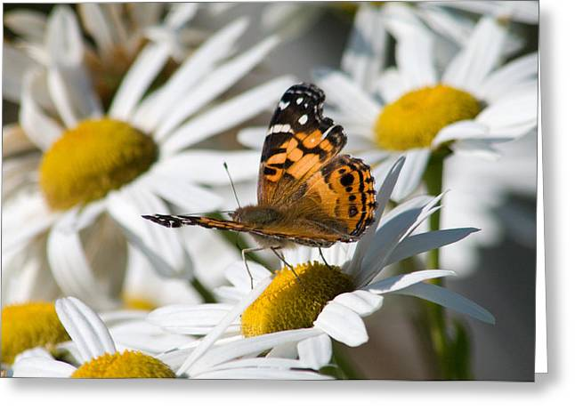 Greeting Card featuring the photograph Tip-toeing On Daisies by Greg Graham