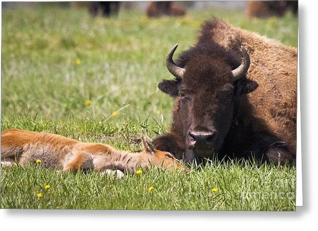 Tired Bison Cow And Calf Greeting Card by Mike Cavaroc