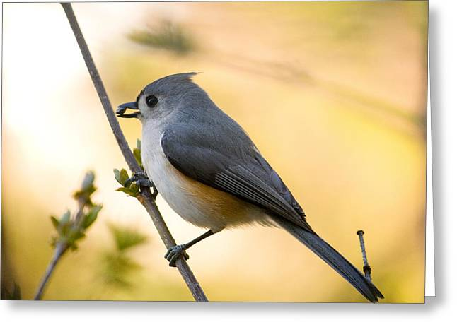 Titmouse In Gold Greeting Card
