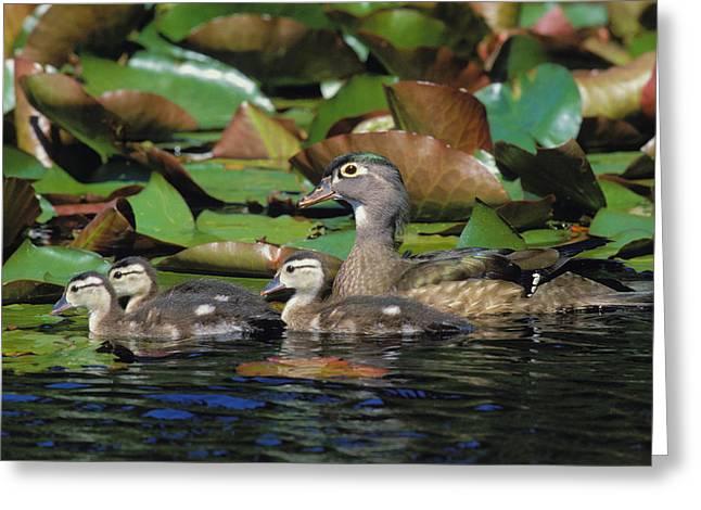 Tk0719, Thomas Kitchin Wood Duck Hen Greeting Card by Thomas Kitchin & Victoria Hurst