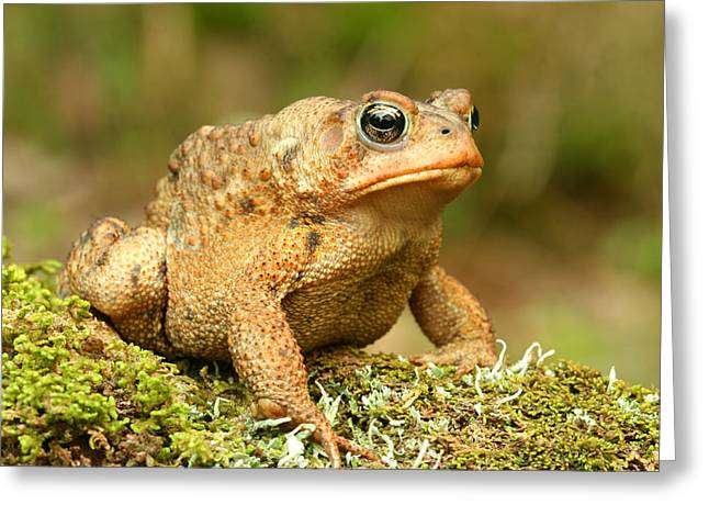 Toad Greeting Card by John Bell