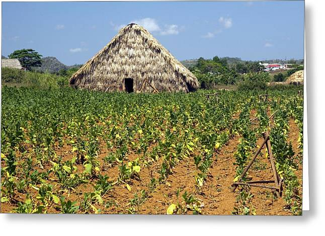 Tobacco Field And Drying House, Cuba Greeting Card by Science Photo Library