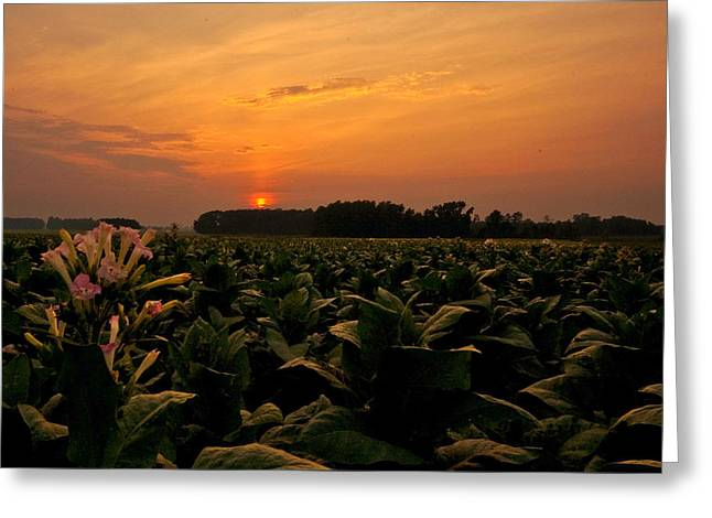 Tobacco Flowers At Dawn  Greeting Card