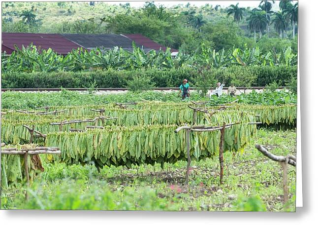 Tobacco Plantation Greeting Card