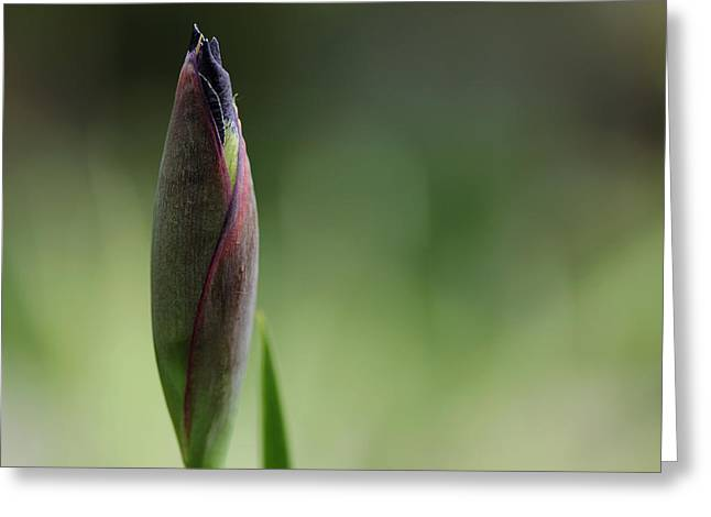 Today A Bud - Purple Iris Greeting Card