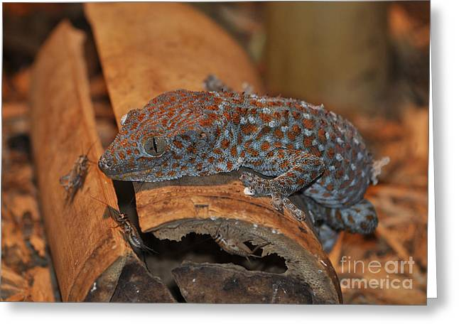 Tokay Gecko Greeting Card by Kathy Baccari