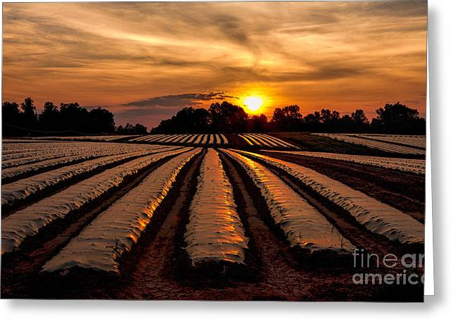 Tomato Field At Sunrise Greeting Card by Dan Carmichael