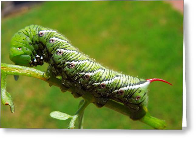 Tomato Horn Worm Caterpillar Greeting Card