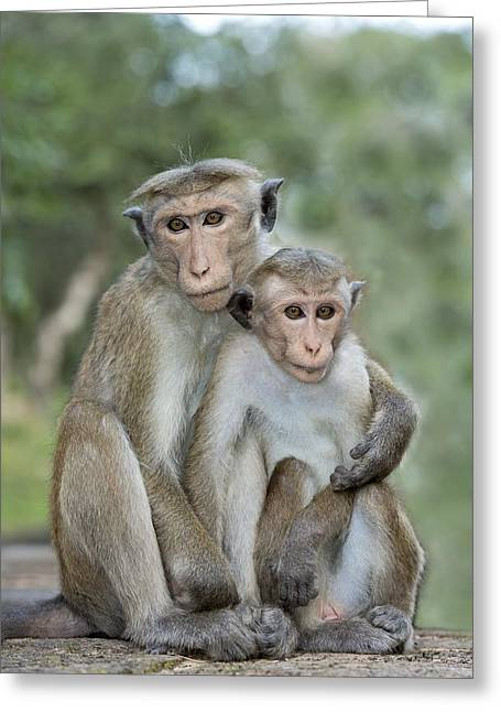 Toque Macaque Embrace Greeting Card by Tony Camacho