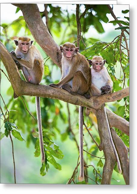 Toque Macaque Family Group Greeting Card by Peter J. Raymond