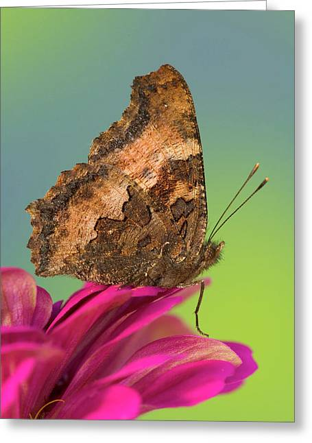 Tortoise-shell Butterfly, Nymphalis Greeting Card