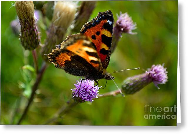 Tortoise Shell Butterfly Greeting Card by Scott Lyons