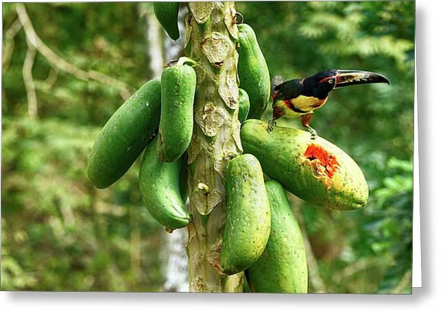 Toucan Bird Feeding On Papaya Tree Greeting Card