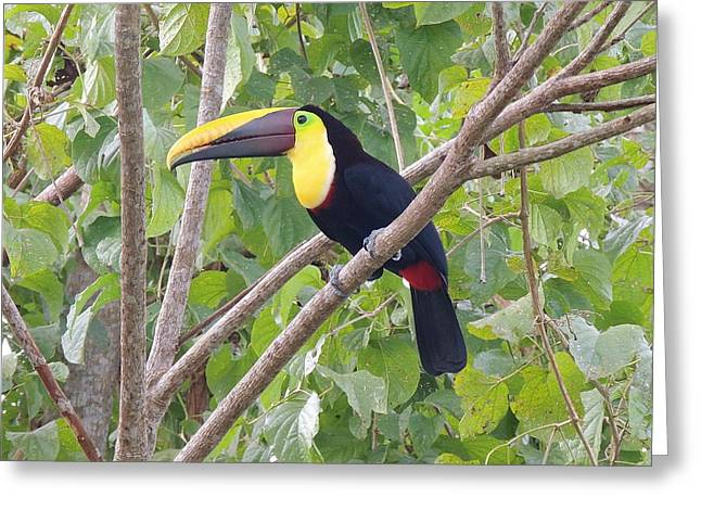 Toucan Greeting Card by Gregory Young