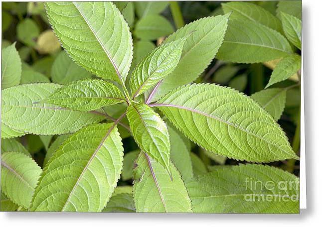Touch-me-not Impatiens Capensis Greeting Card