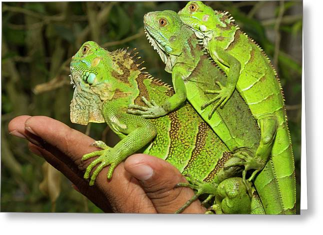 Tourist With Juvenile Green Iguanas Greeting Card by William Sutton
