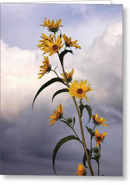 Towering Sunflowers Greeting Card
