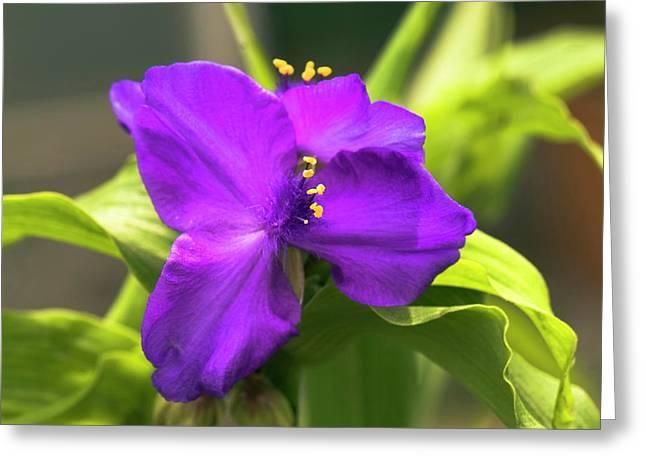 Tradescantia 'purple Dome' Greeting Card by Adrian Thomas