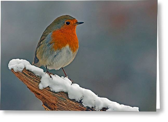 Traditional Winter Robin Greeting Card by Paul Scoullar