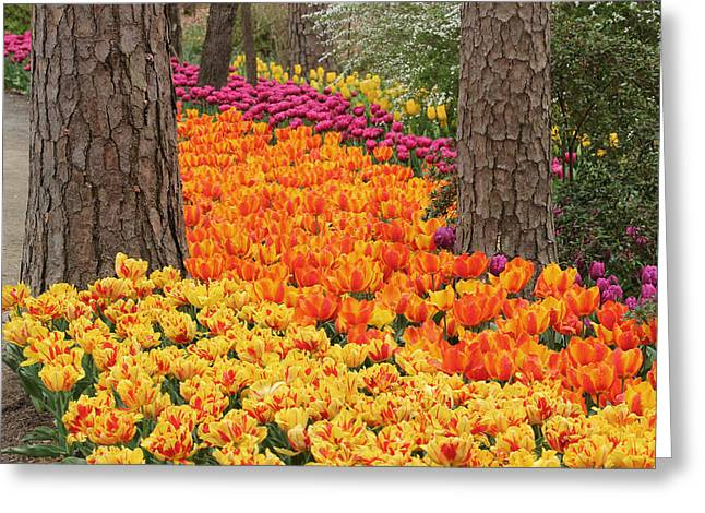 Trail Of Tulips Greeting Card