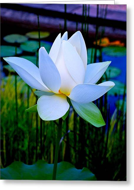 Tranquil Water Lily - Water Garden Lotus Greeting Card