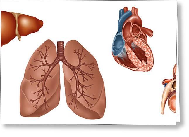Kidney transplant greeting cards fine art america transplant organs illustration greeting card m4hsunfo