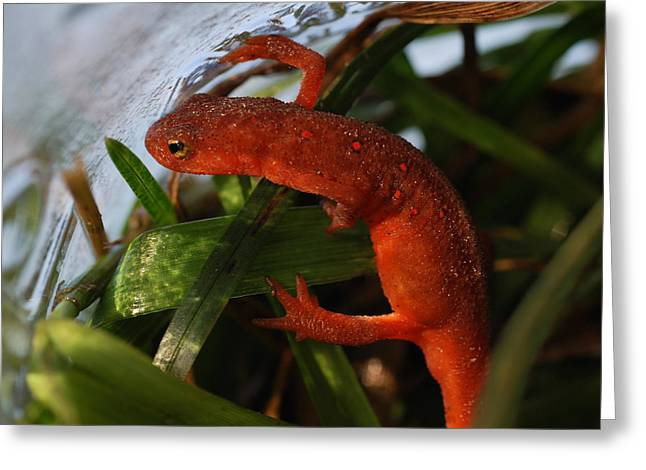 Travels Of A Newt Greeting Card