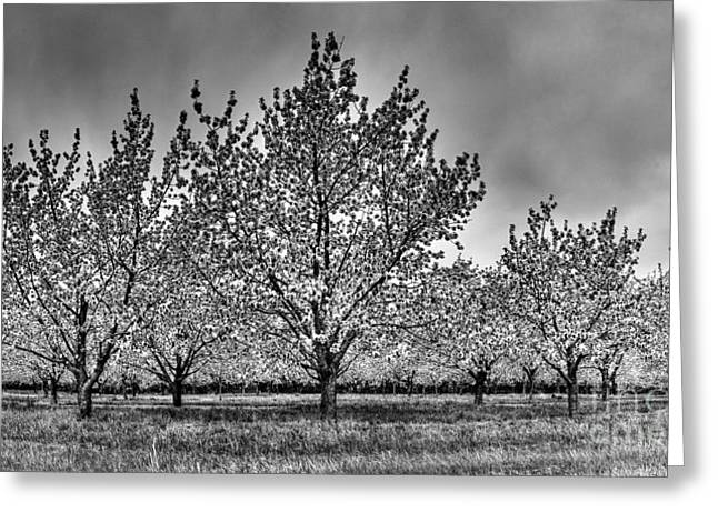 Traverse City Cherry Blossoms Greeting Card by Twenty Two North Photography