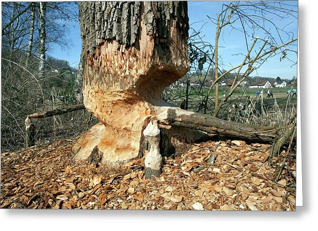 Tree Being Felled By Beaver Greeting Card
