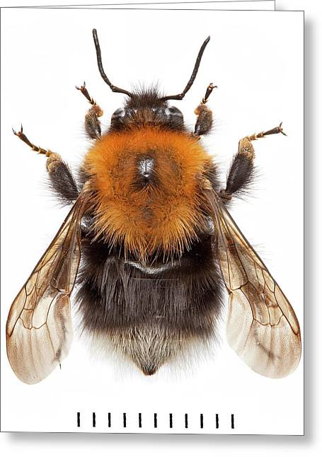 Tree Bumblebee Greeting Card by Natural History Museum, London