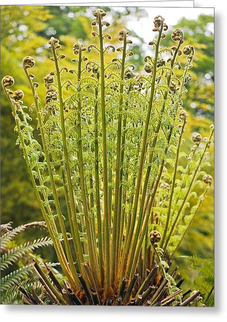 Tree Fern (dicksonia Antartica) Greeting Card by Science Photo Library
