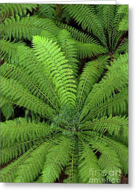 Tree Fern In Otway Natl Park Greeting Card by Yva Momatiuk and John Eastcott