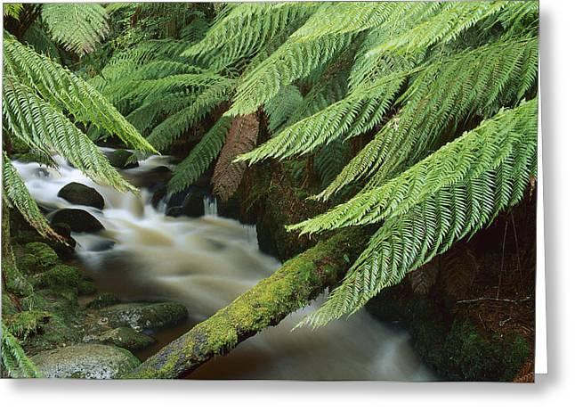Tree Fern Over Stream Tasmania Greeting Card by Shaun Barnett