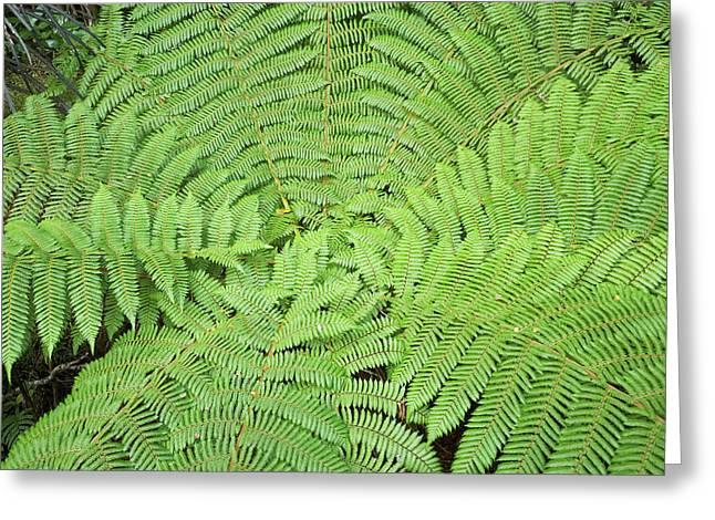 Tree Fern (ponga Greeting Card by David Wall