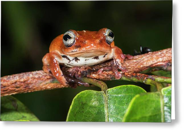 Tree Frog, Lango Bai, Congo Greeting Card by Pete Oxford