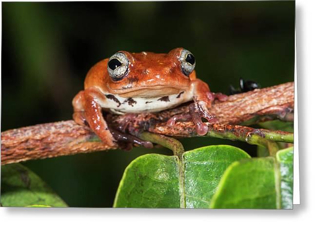 Tree Frog, Lango Bai, Congo Greeting Card