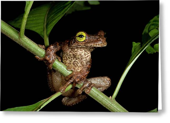 Tree Frog (osteocephalus Taurinus Greeting Card by Pete Oxford