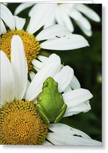 Tree Frog Rests On A Daisy  Astoria Greeting Card by Robert L. Potts