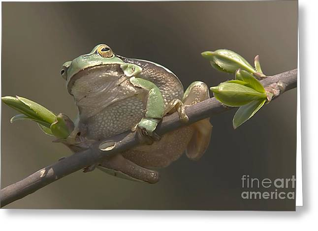 Tree Frog Sitting On The Perch Greeting Card by Odon Czintos