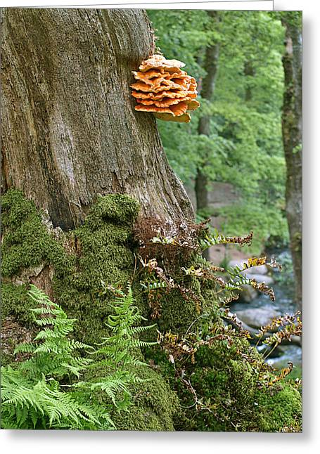 Tree Fungus - Chicken Of The Woods Greeting Card by Gill Billington
