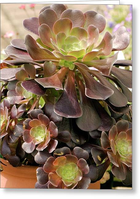 Tree Houseleek (aeonium Arboreum) Greeting Card
