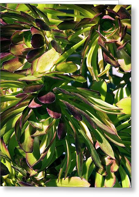 Tree Houseleek (aeonium Atropurpureum) Greeting Card by Adrian Thomas