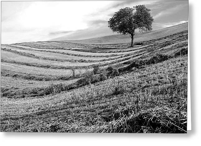 Tree In A Mowed Field. Auvergne. France Greeting Card by Bernard Jaubert
